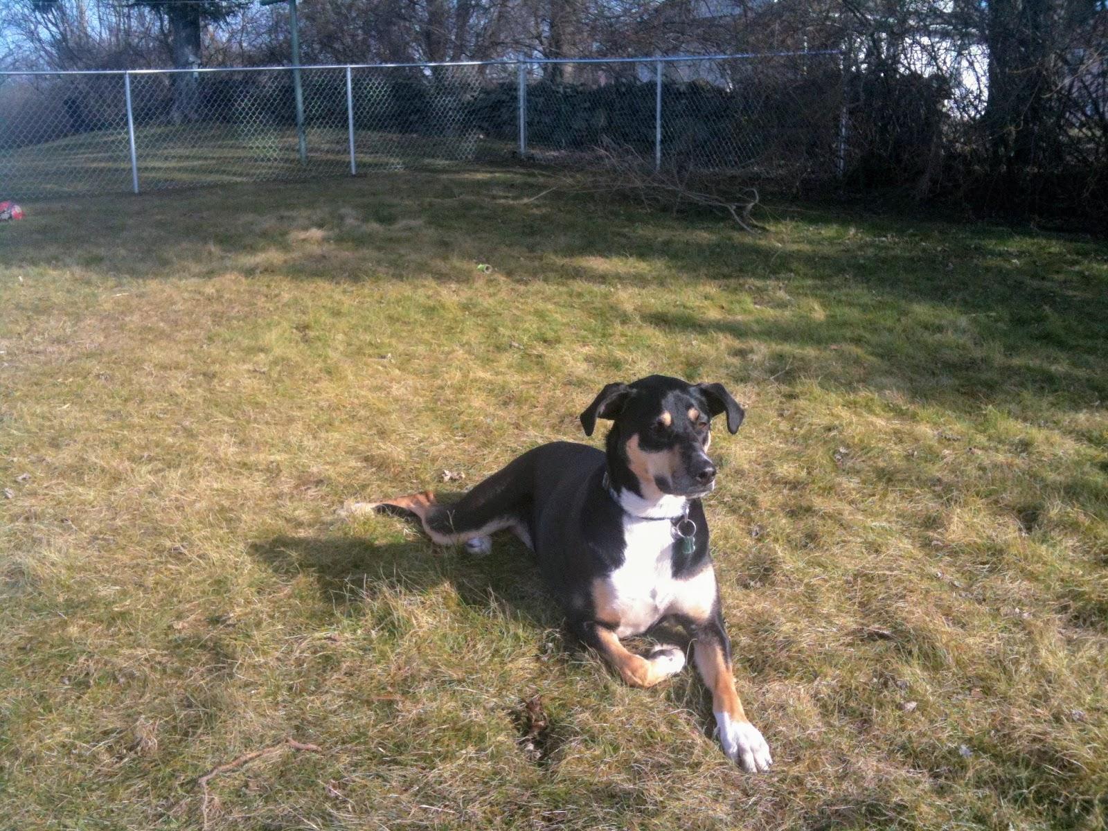 Roxy is enjoying the sun in her new fenced in backyard!