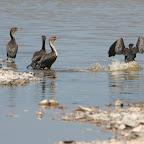 Cormorants in the desert