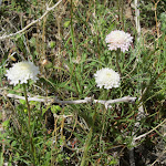 Desert Pincushion blooms