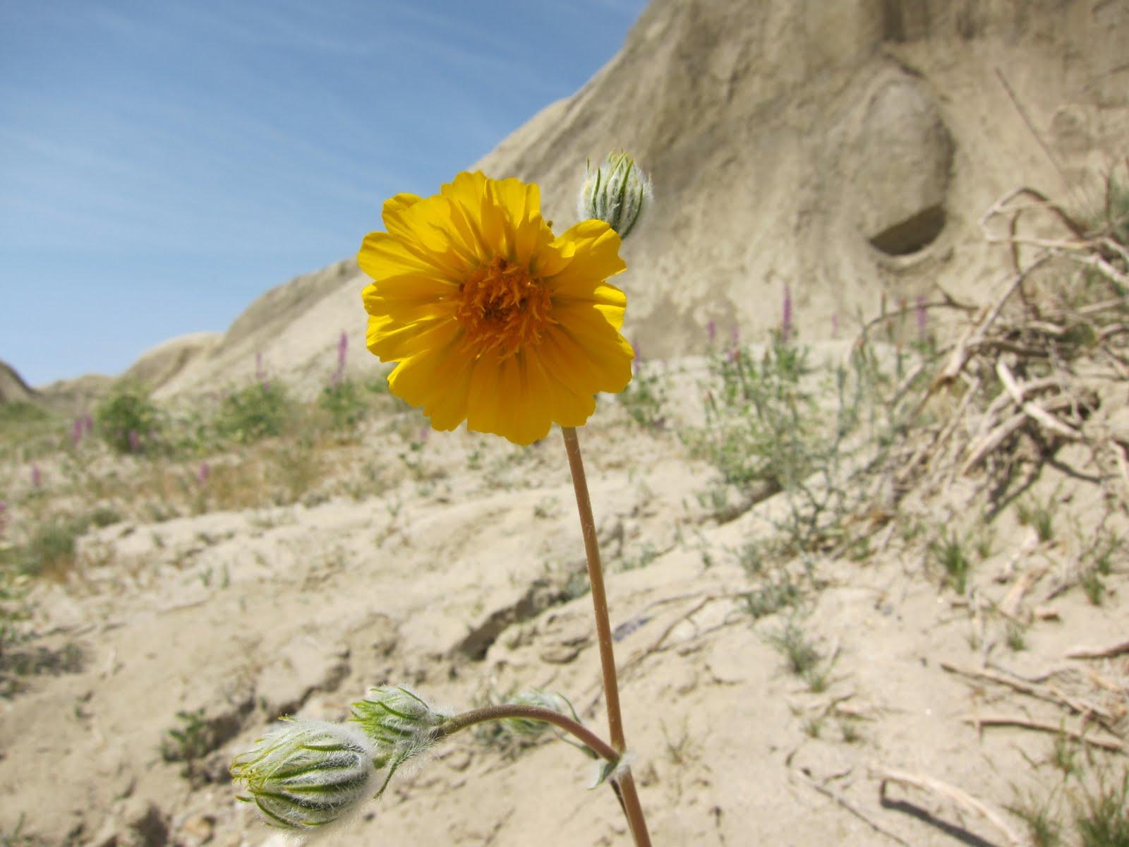 Lone Desert Sunflower in Arroyo Tapiado