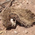 Dead hedgehog