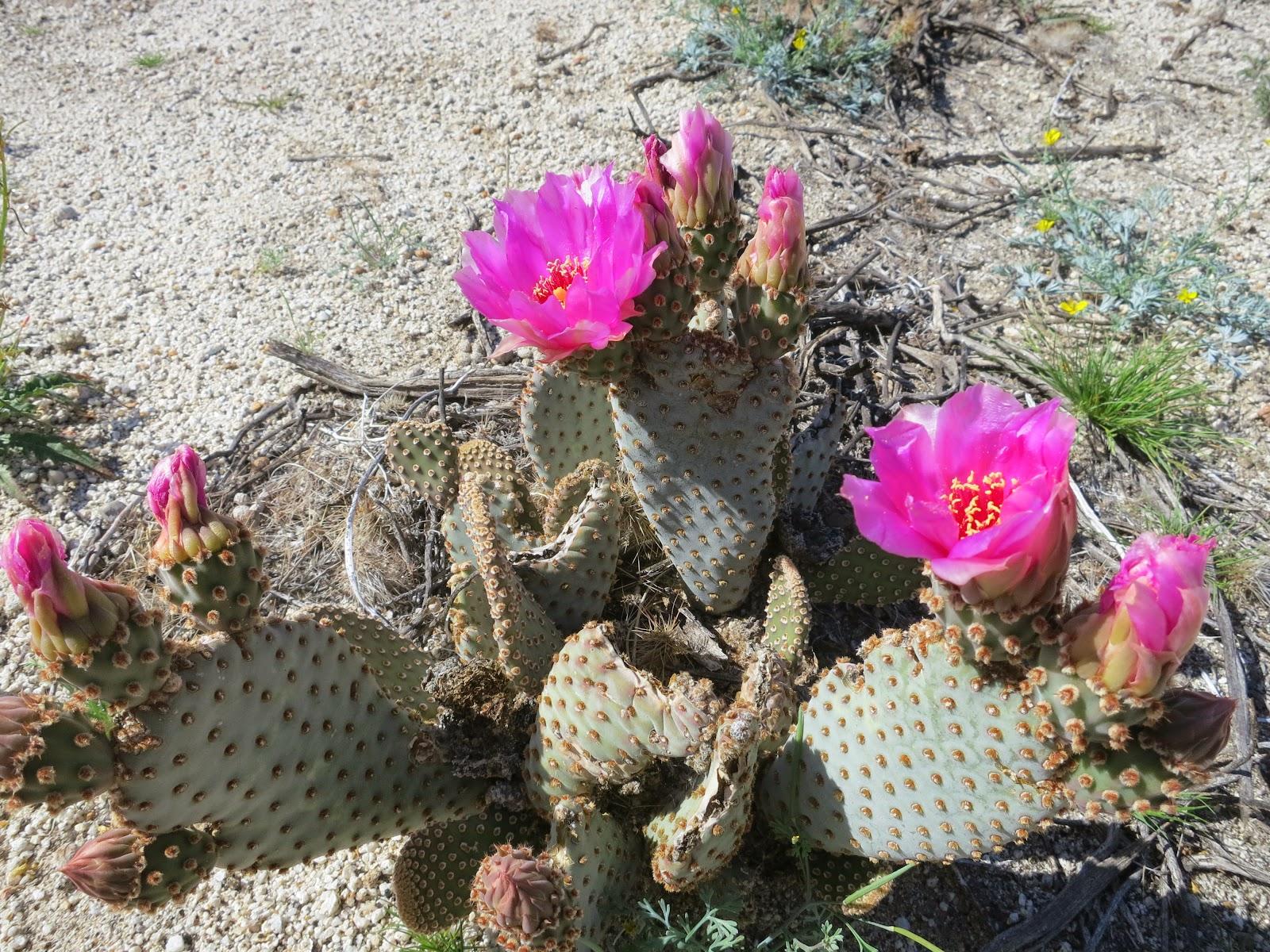 Beavertail Cactus with intense pink blooms
