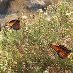 Butterflies in Box Canyon