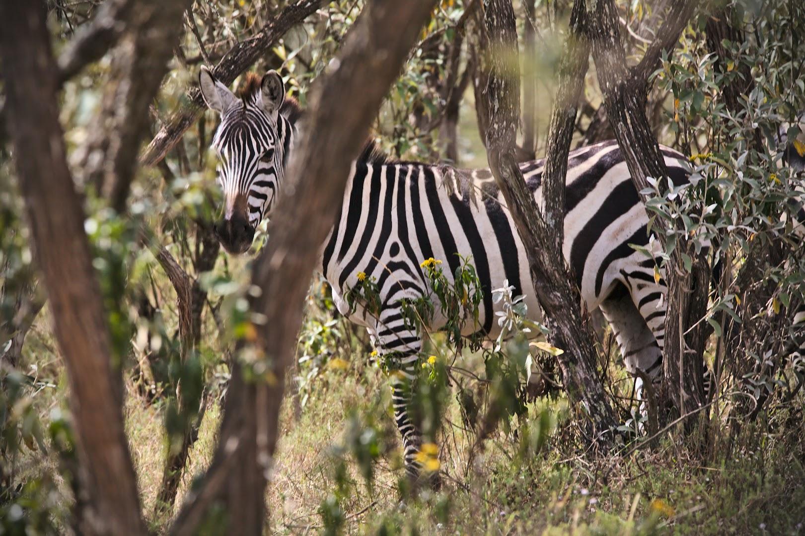 Hunting for zebras