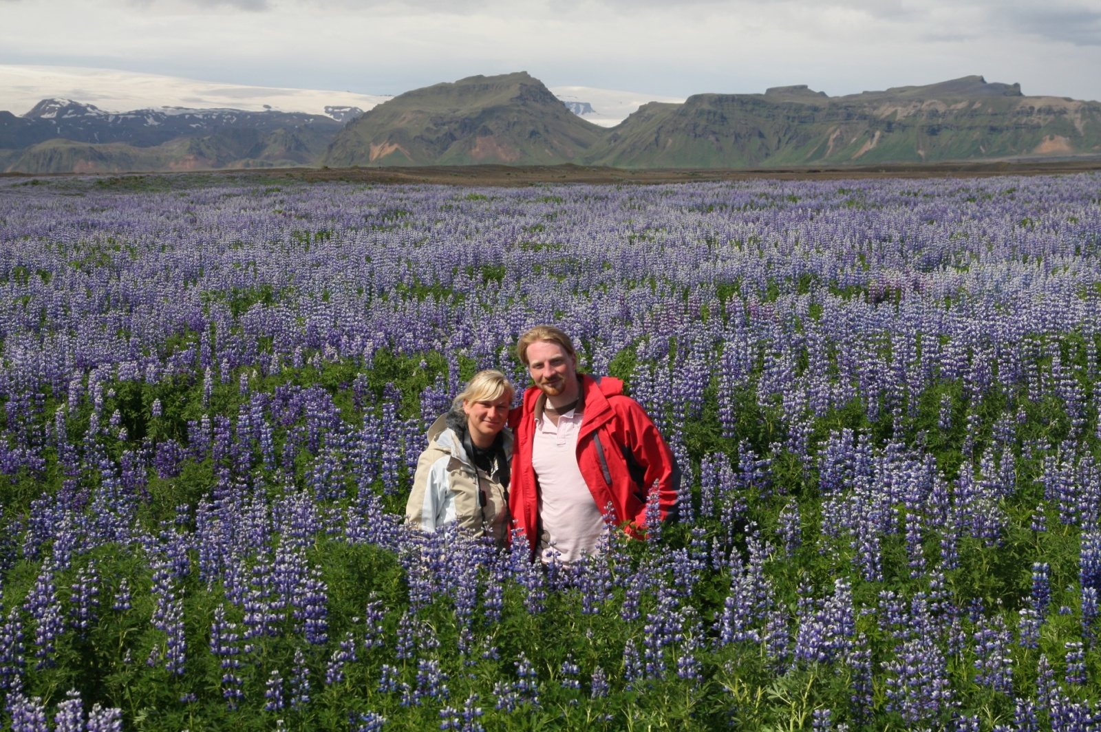 Lupin field - they are stronger than any Icelandic plants and therefore take up vast areas