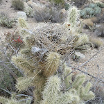 Nest among the Cholla offers plenty of protection