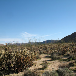Cholla as far as the eye can see