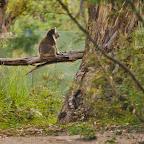 Lone Koala