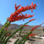 The Ocotillo looked as healthy as we have ever seen