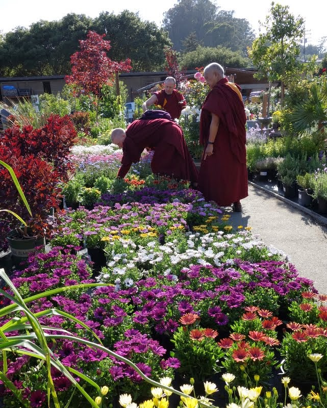 Rinpoche choosing flowers for offerings, Aptos, California, May 2014. Photo by Ven. Roger Kunsang.