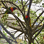 Parrots on the street