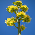 There were numerous Agave blooms in Indian Valley