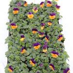 Cornuta paars/oranje
