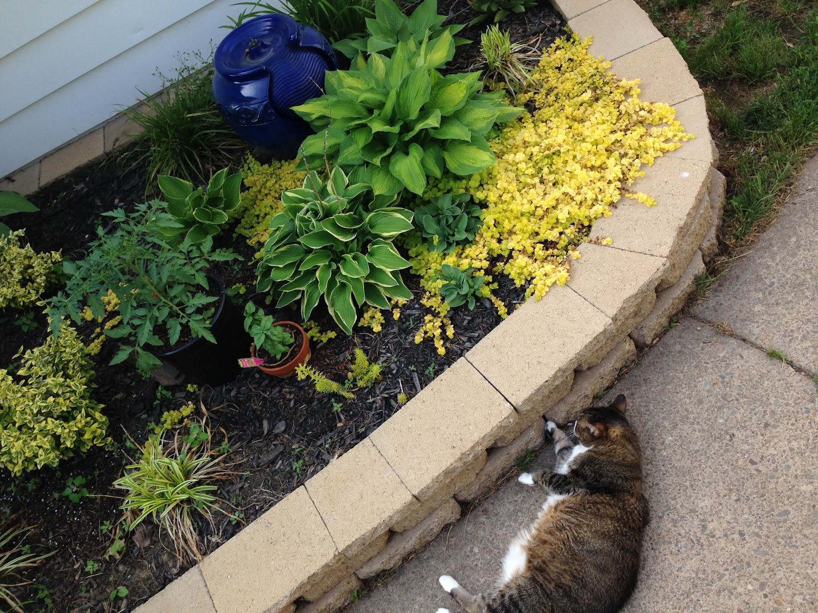 Quincy the cat chilling by the amazing growth in the back garden bed. L-R Euonymous, tomato plants, 4 varieties of hosta (the small one is blue mouse ears), and the groundcover is creeping jenny. There's also a couple grasses mixed in, but they are still small.