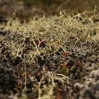 Icelandic lichens