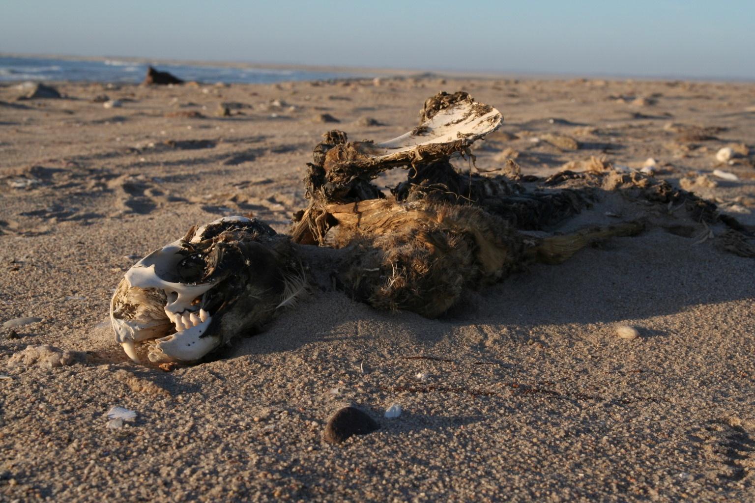 Seal at the Skeleton Coast