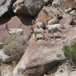 Peninsular Bighorn Sheep Anza Borrego
