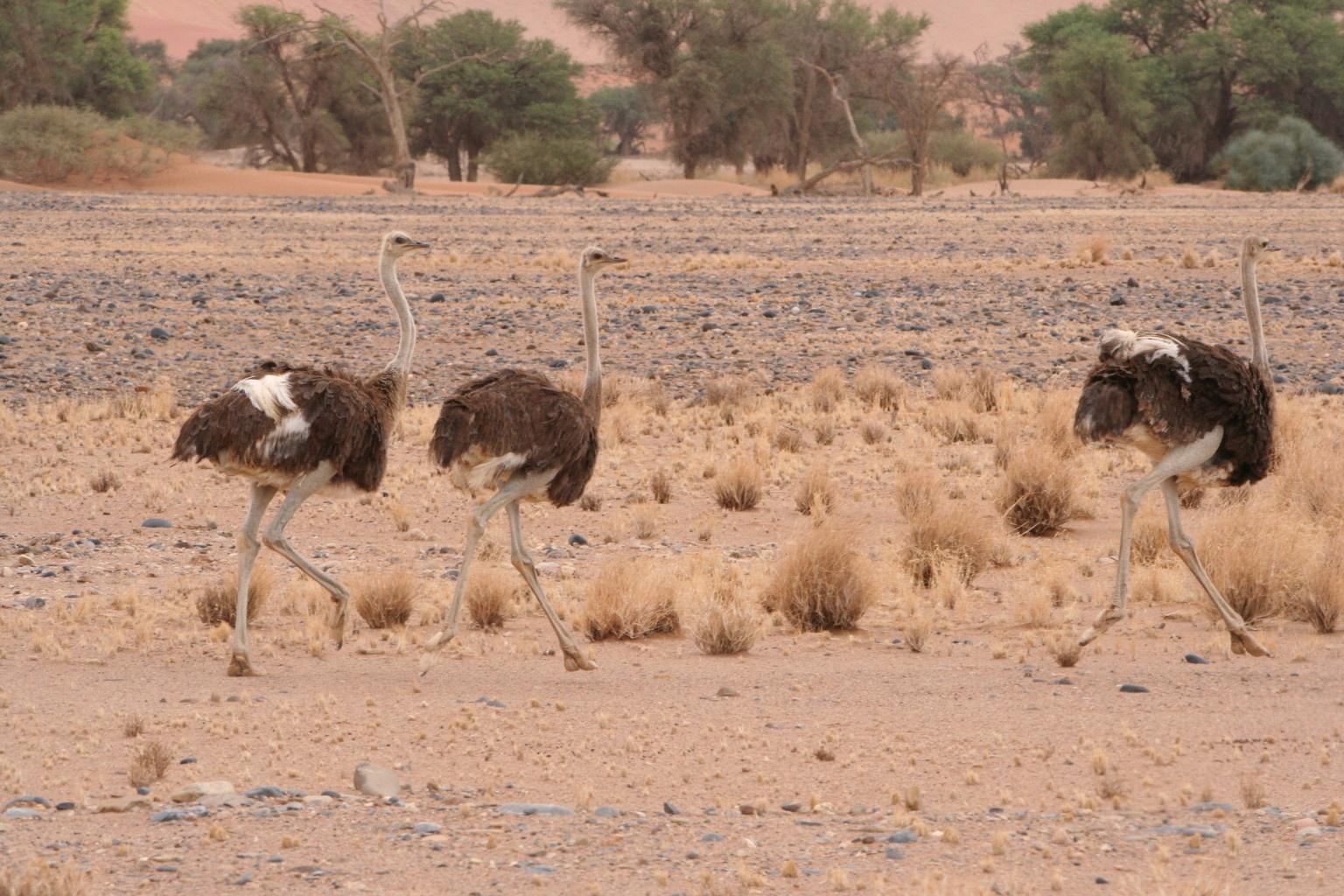 Running ostriches