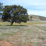 Beautiful large Oak Tree