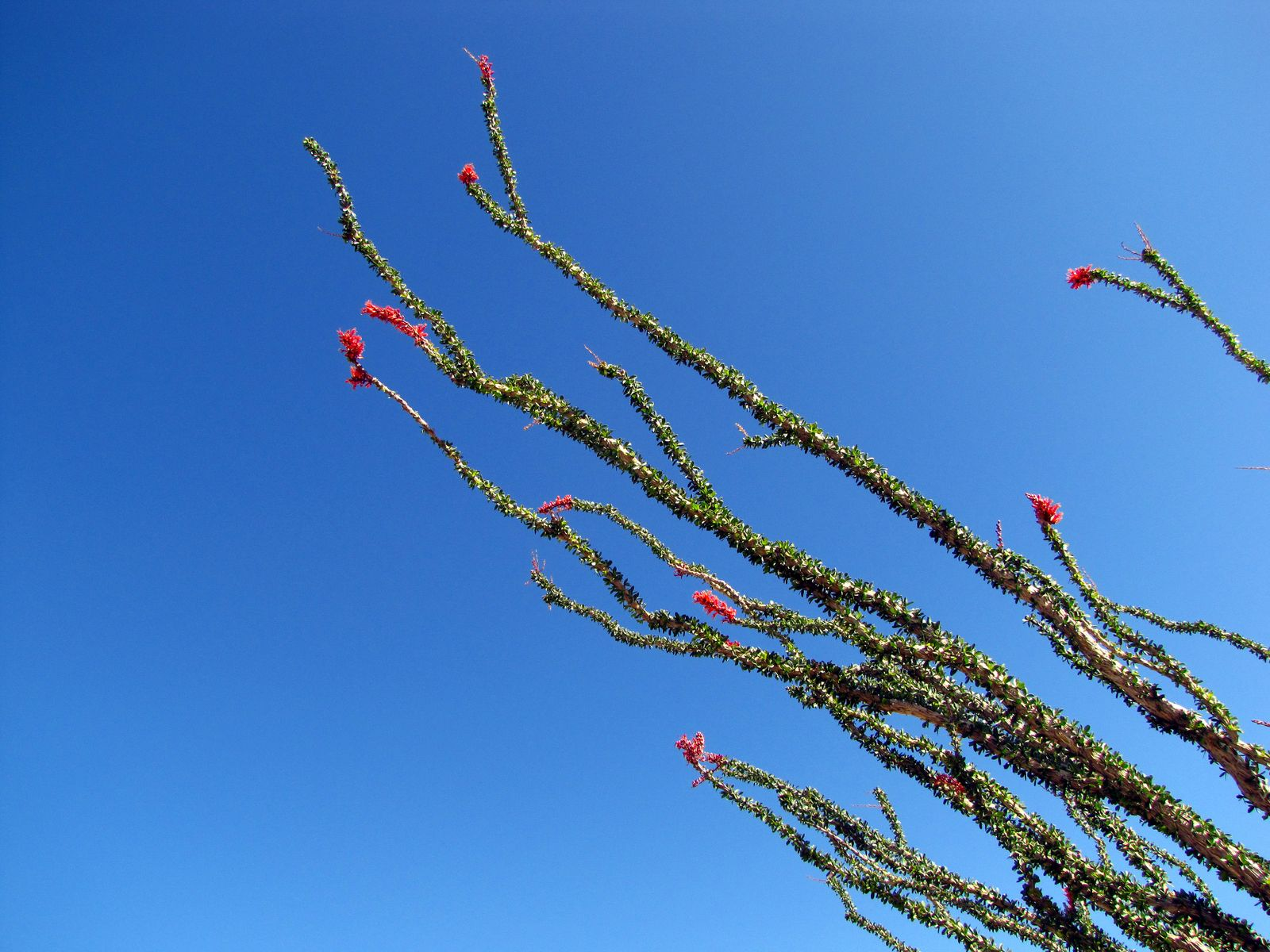 Ocotillo reaching for the blue Desert sky in Mortero Canyon