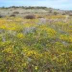 Fields of yellow flowers.