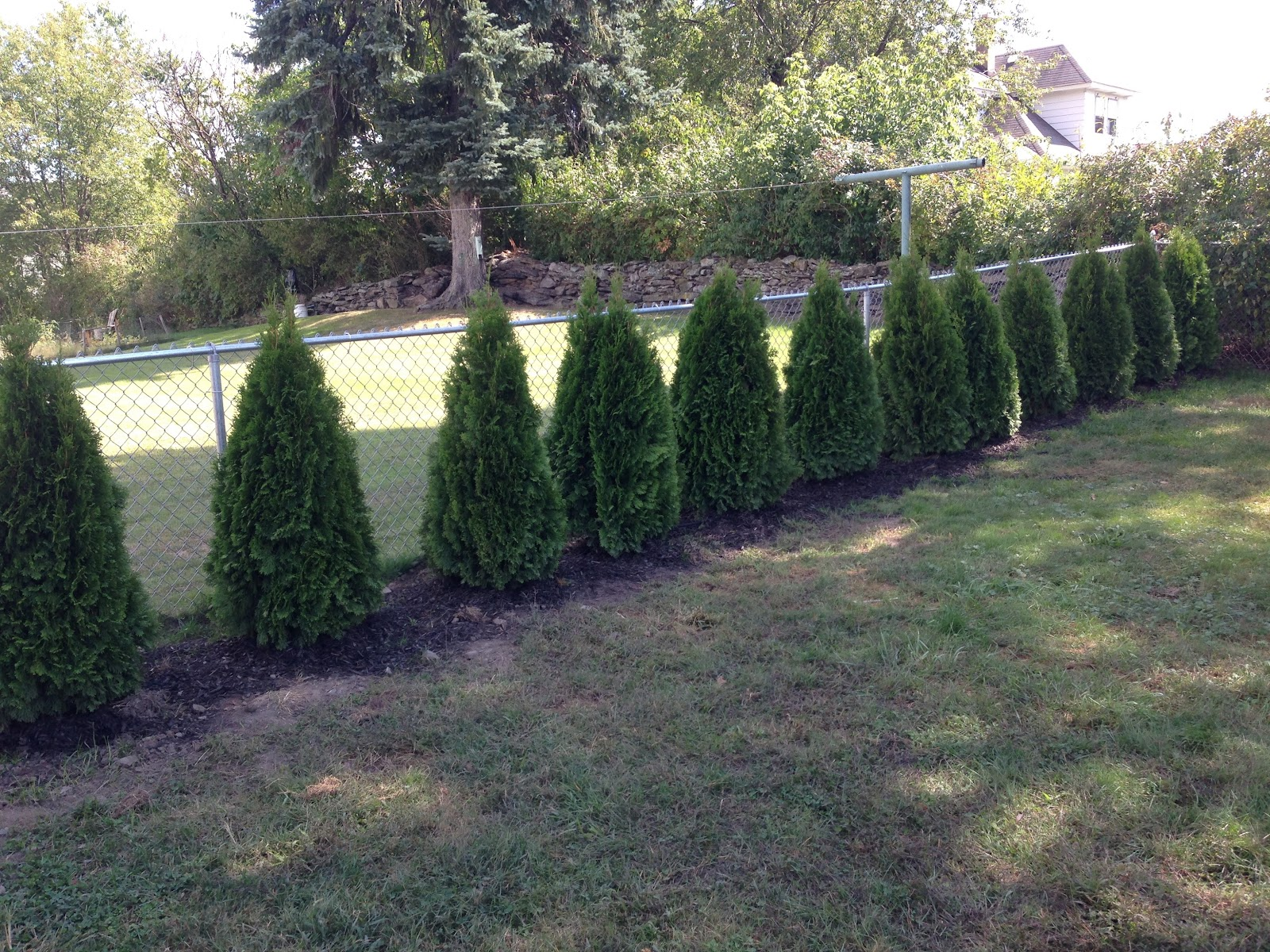 Emerald green arborvitae, planted Summer 2014 along the fence in my backyard