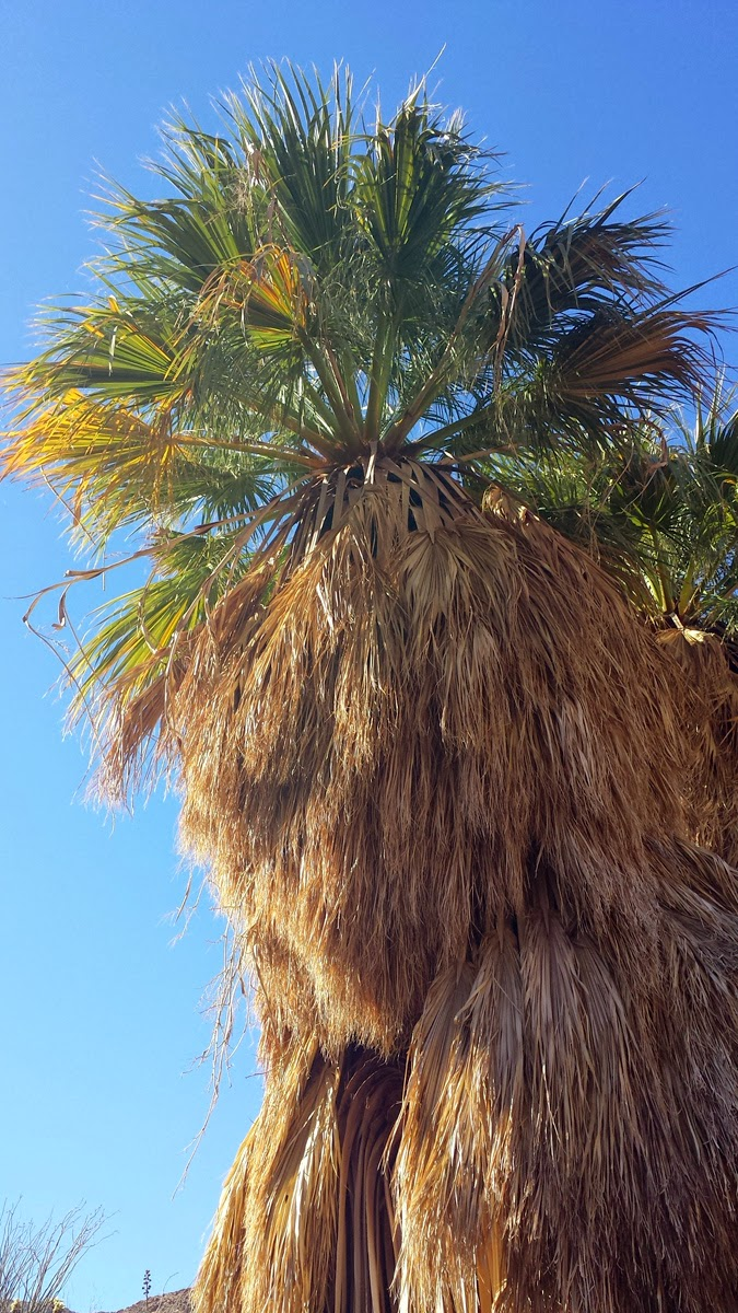 The brilliant blue desert sky made a nice contrast to the healthy green palm leaves.