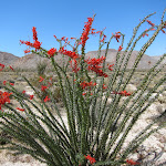 Ocotillo in Indian Valley