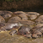 In the heat of the day hippos sit in their own poo