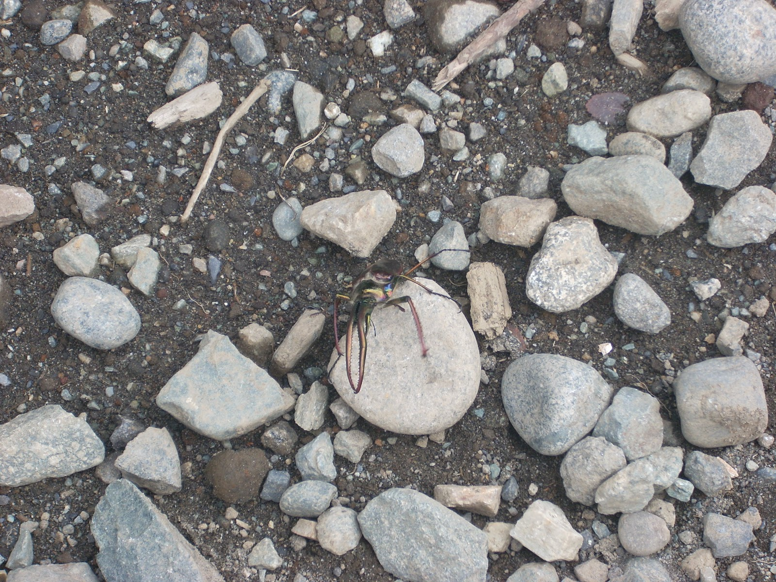 See this bug - it would fill the palm of my hand
