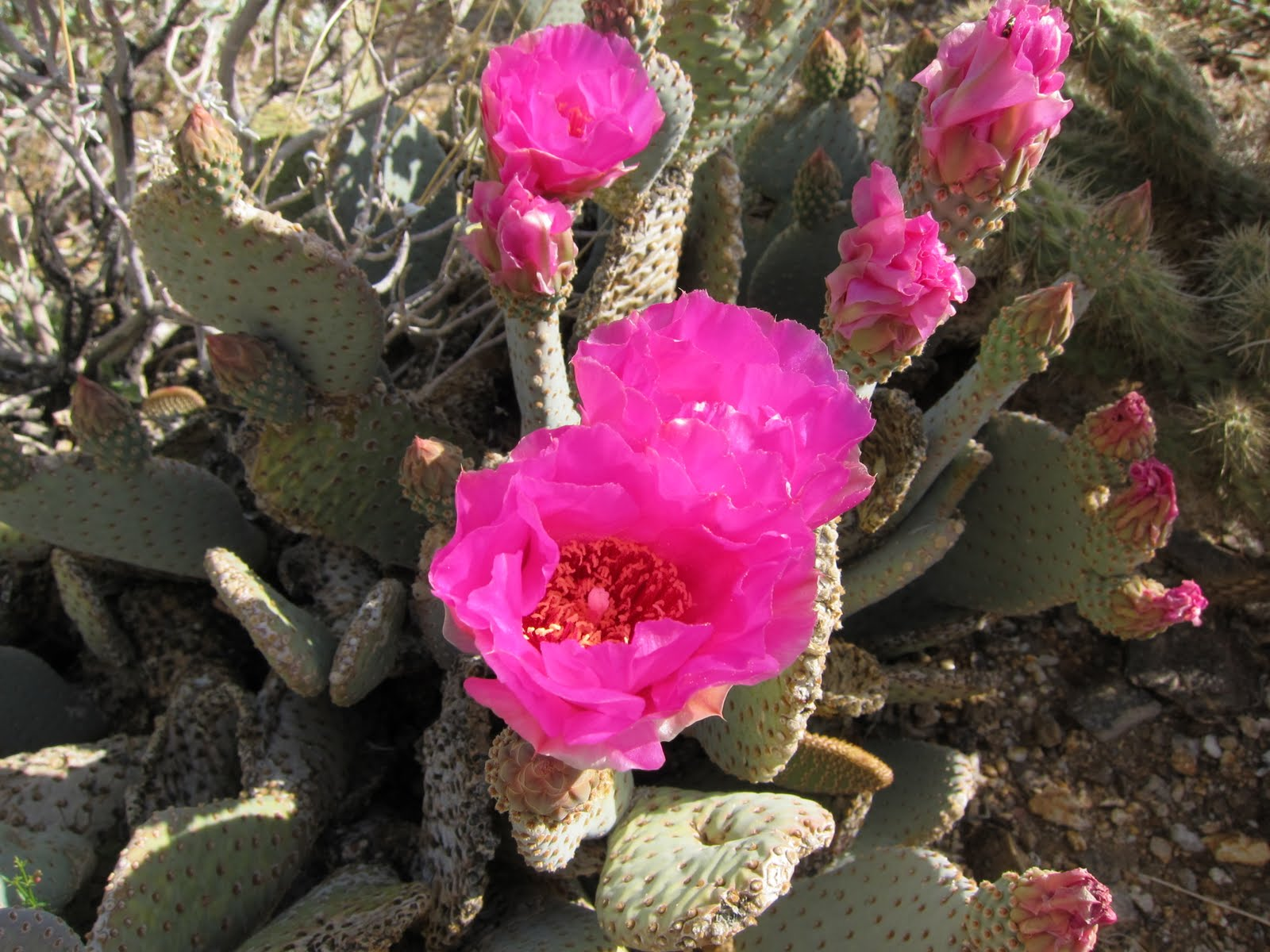 Where we found this blooming Beavertail Cactus