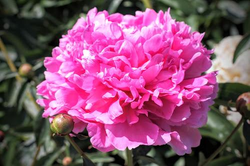 Vivid Rose 06-06-2014 004.JPG