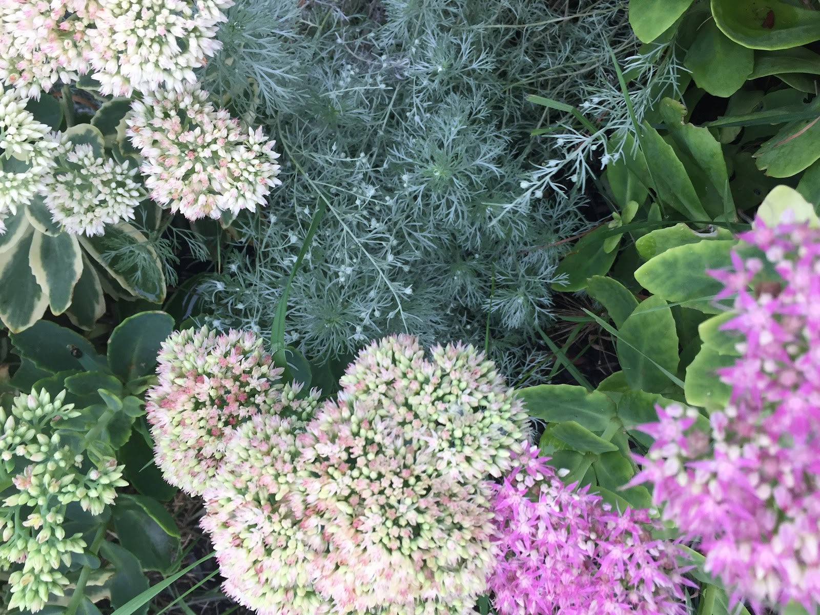 silver mount artemisia and autumn joy sedum