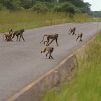 Baboons are attacking!