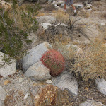 Small barrel cactus growing out of rock