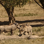 Warthogs have some relationship with birds