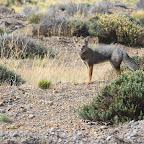 Zorro Gris (Gray Fox) of Patagonia