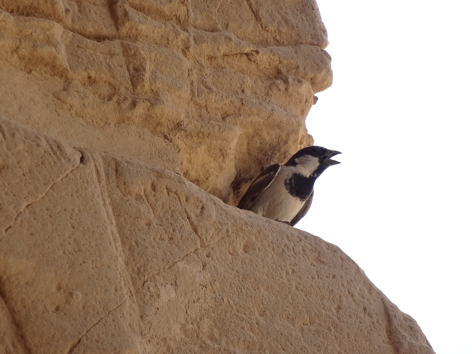 エジプトにいた鳥(つばめ?)