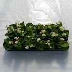 Begonia lichtbladig wit
