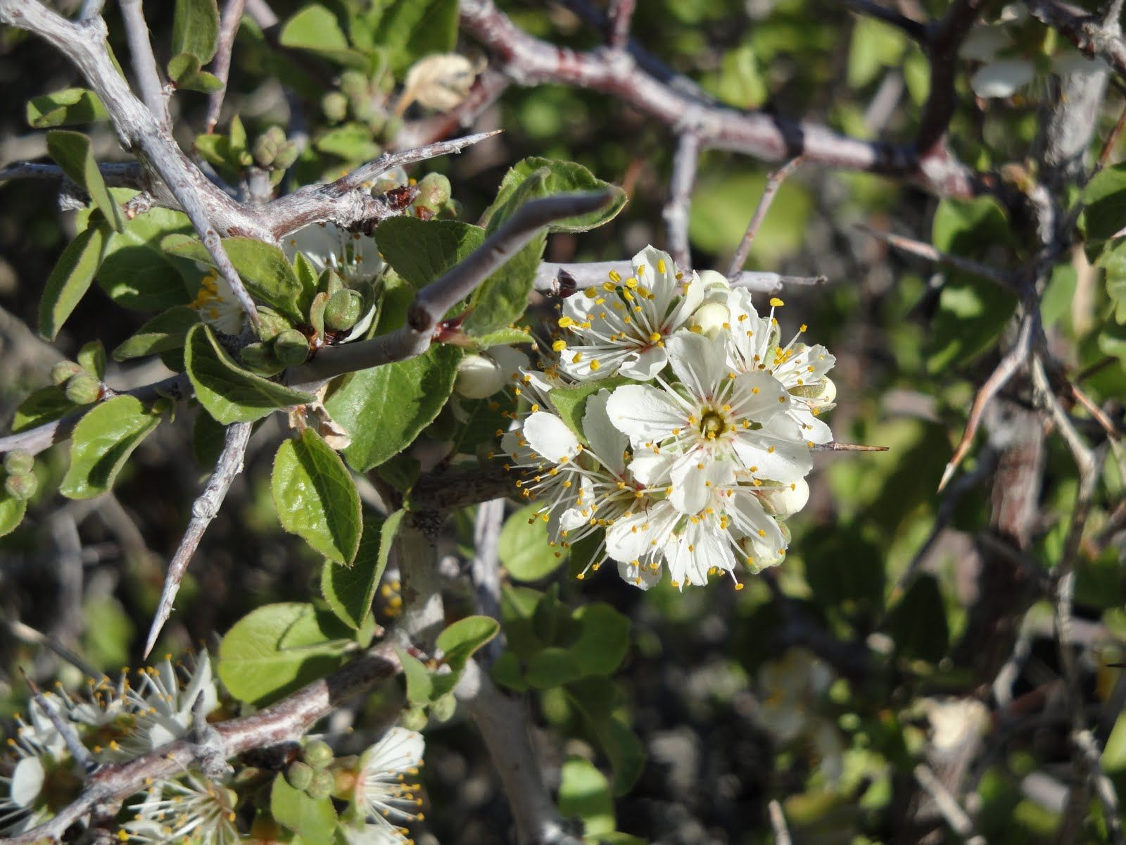 Rare blooms of the Desert Apricot bush.