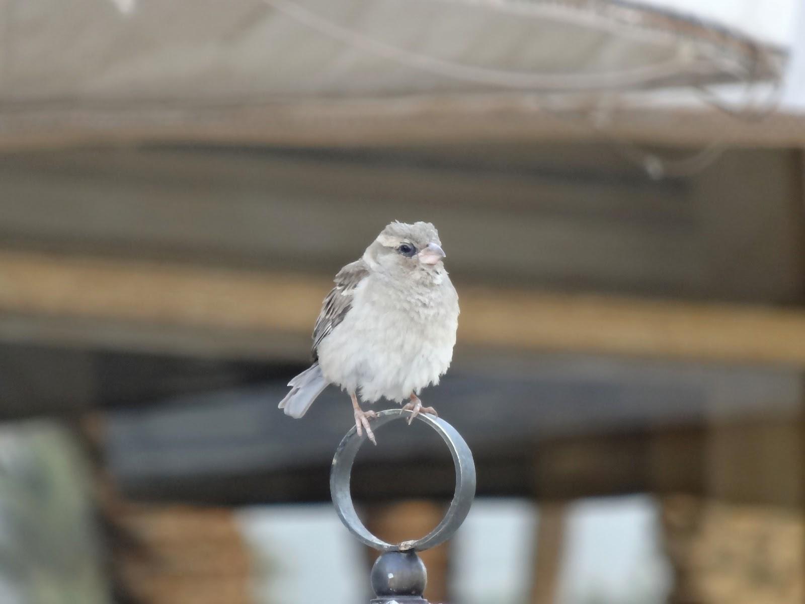 エジプトにいた鳥(すずめ?)