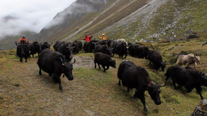 Yaks that Lama Zopa Rinpoche sponsored so that they would not be killed, being transported to their new homes