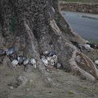 Dead pigeons Santiago - don't ask me why