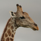 Wise Giraffe