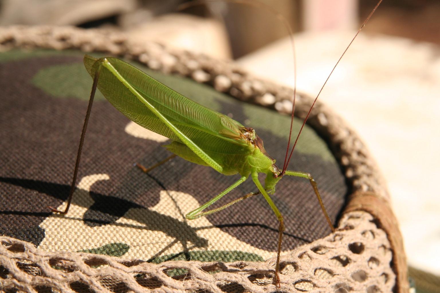 A giant grasshopper