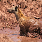 Hyenas take a bath