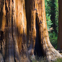 sequoia_2