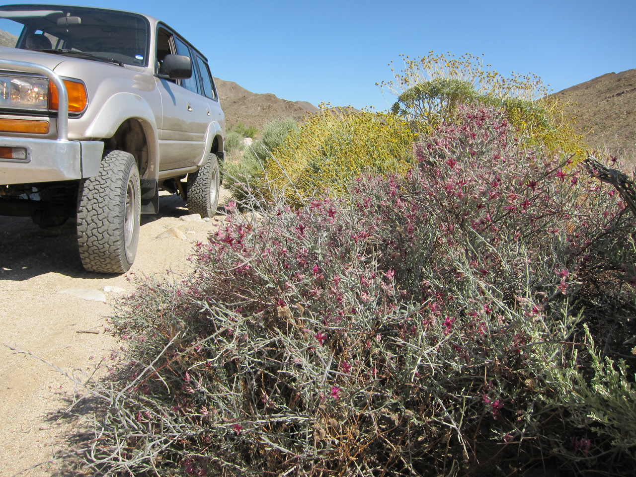 While the peak flower season seems to be over there is still much to be seen out in Anza Borrego.
