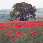 Poppies, looking towards the A417 from Coffin Way, 1996