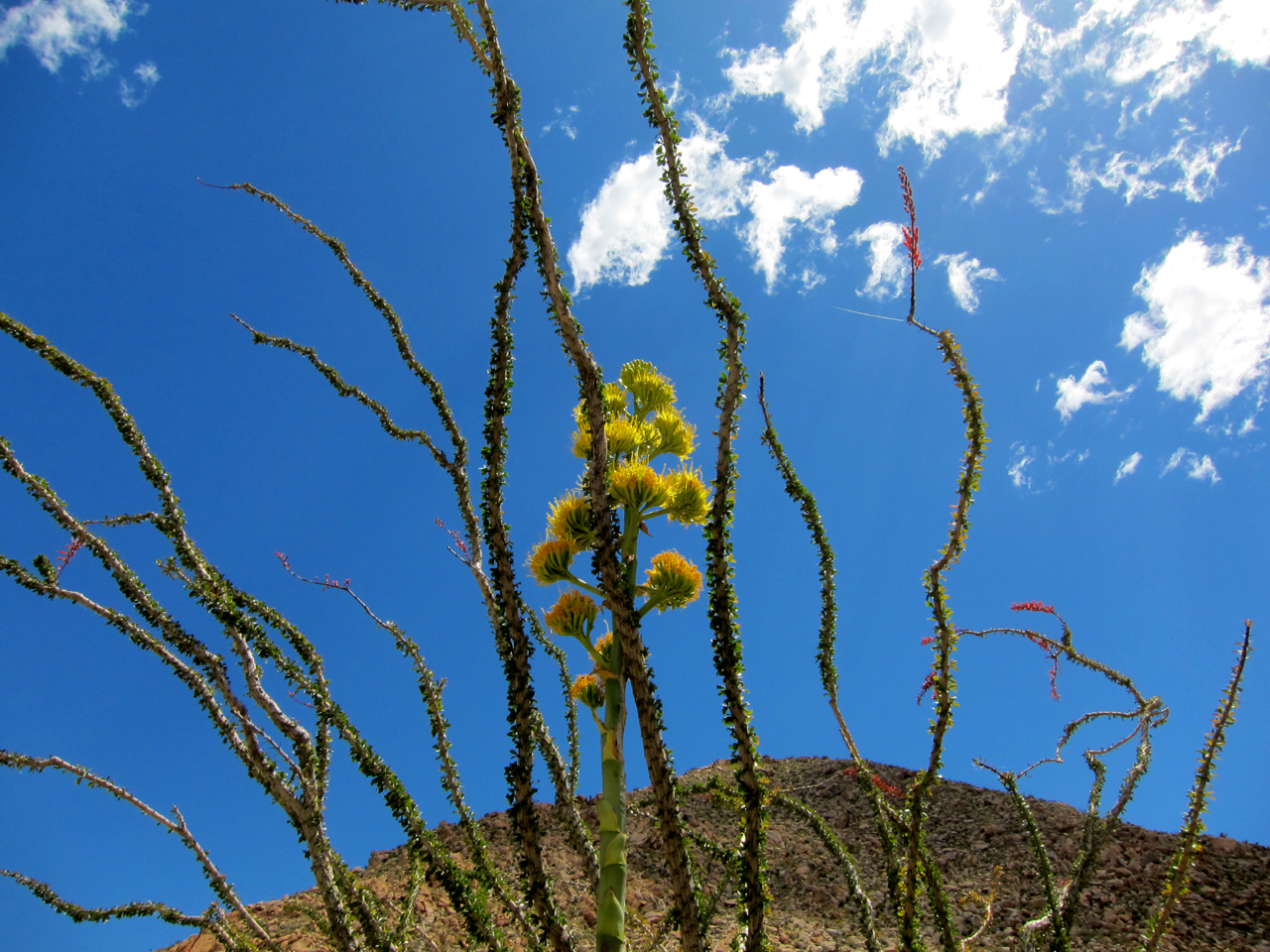 Blooming Agave framed by an Ocotillo
